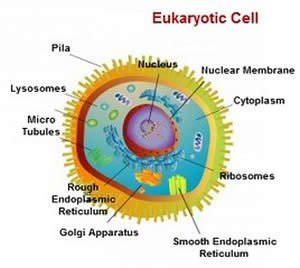 Difference between prokaryotic and eukaryotic cells essays